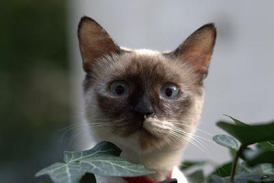 قط البيرمان Birman cat
