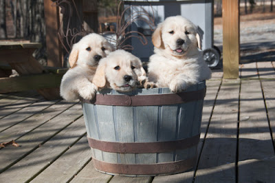 3 puppies in a bucket
