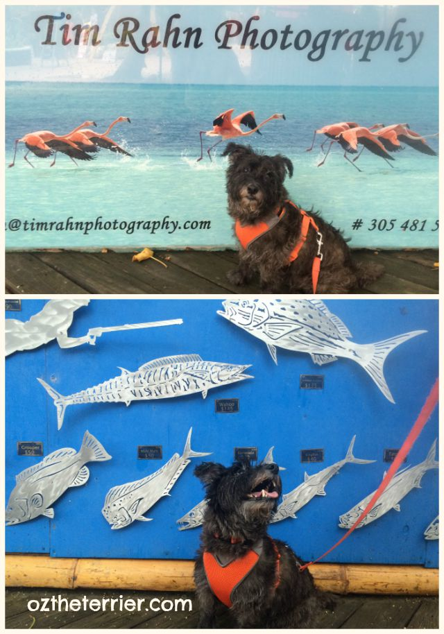 Oz the Terrier visits local artists in Islamorada, Florida Keys