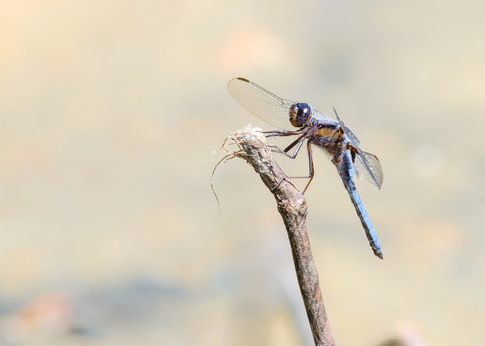 Blue Corporal Dragonfly Ohio