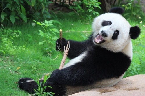 Zoos around the world are on loan from China.