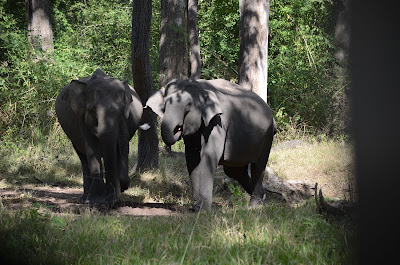 young indian tusker