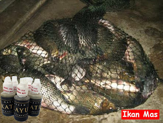 Essen Katilayu Ikan Mas Kilo Gebrus