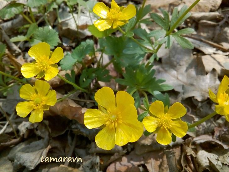 Лютик Франше / Лютик уссурийский (Ranunculus franchetii, =Ranunculus ussuriensis)