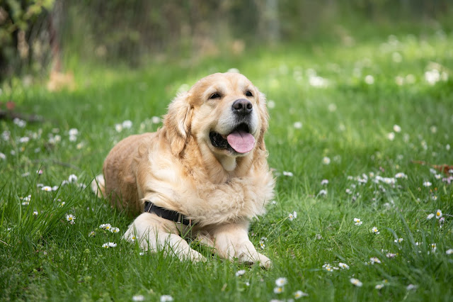 a golden retriever sitting on grass with its tongue out