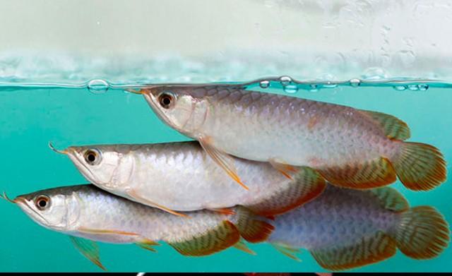 8 Harga Ikan Arwana Anakan Terbaru