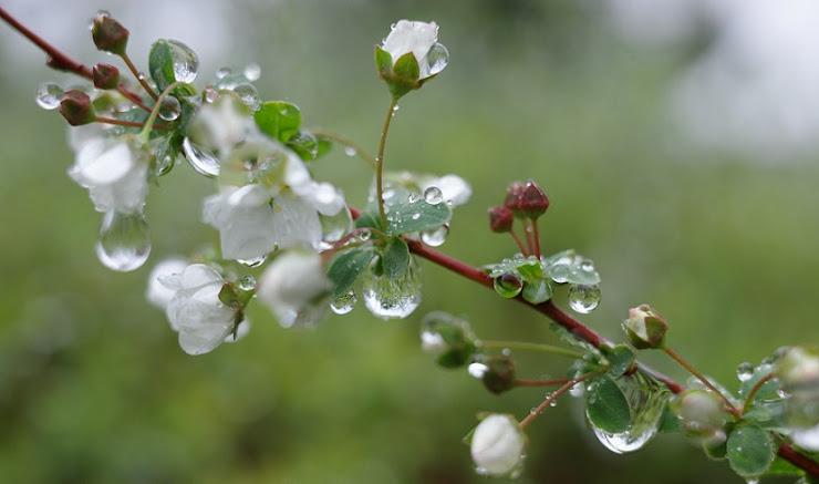 春雨に濡れたユキヤナギ