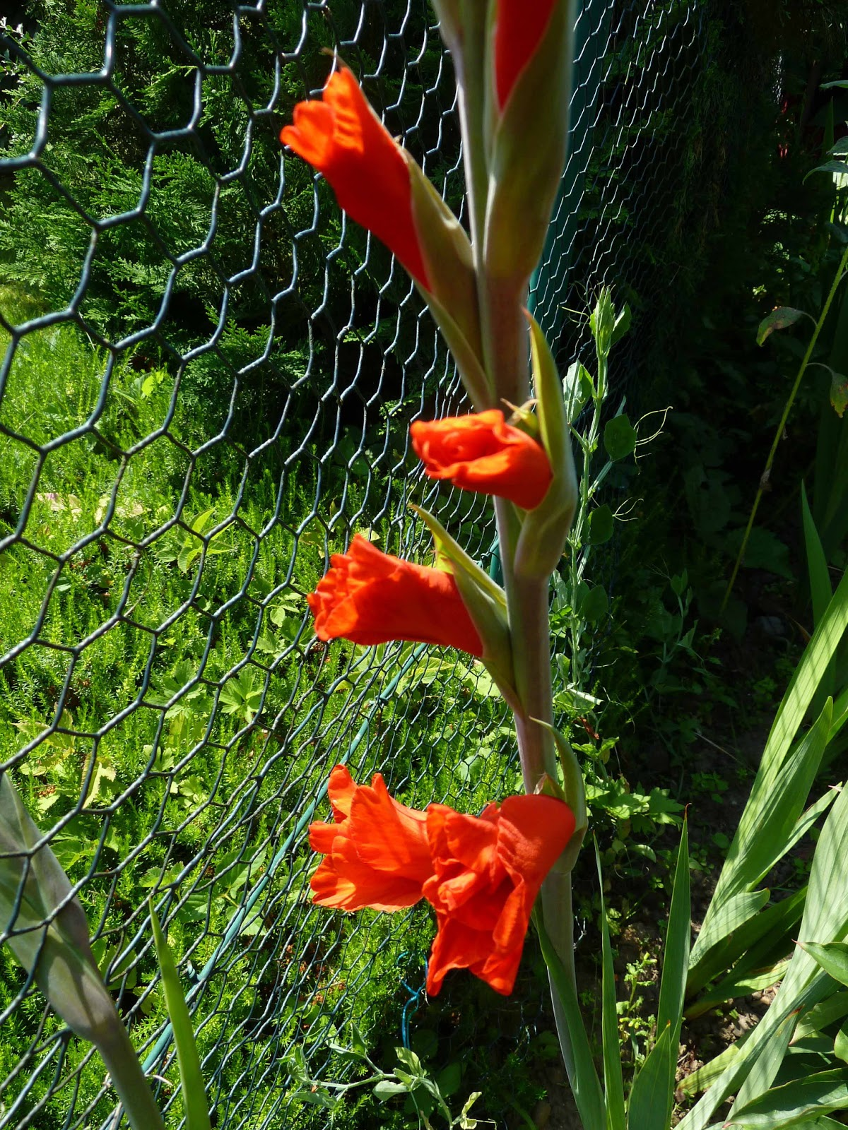 Gladiolen Zaun