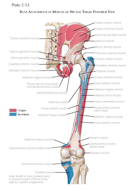 BONY ATTACHMENTS OF MUSCLES OF HIP AND THIGH: POSTERIOR VIEW