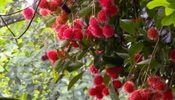 bibit tanaman buah dijual online