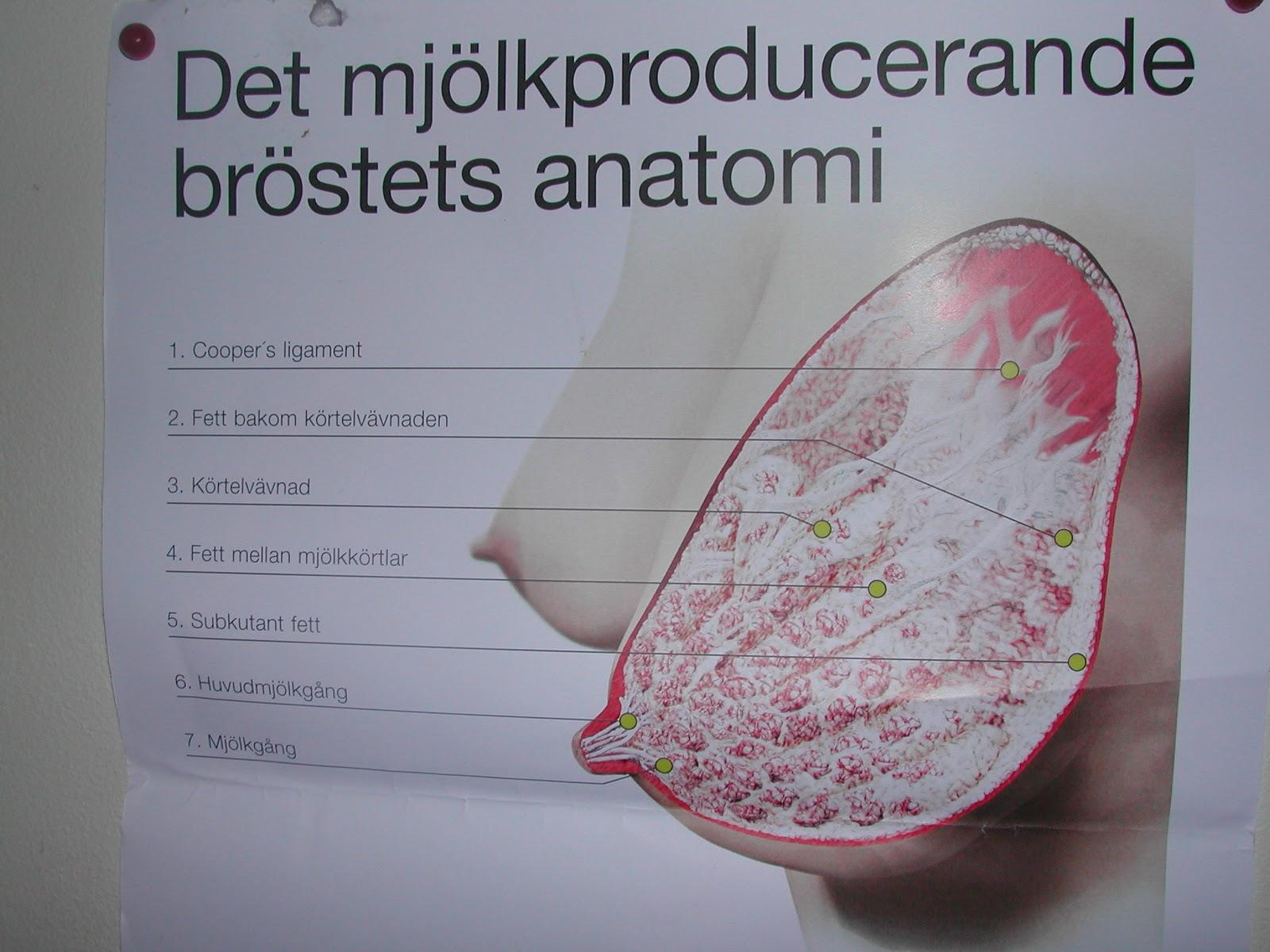 bröstets anatomi och fysiologi