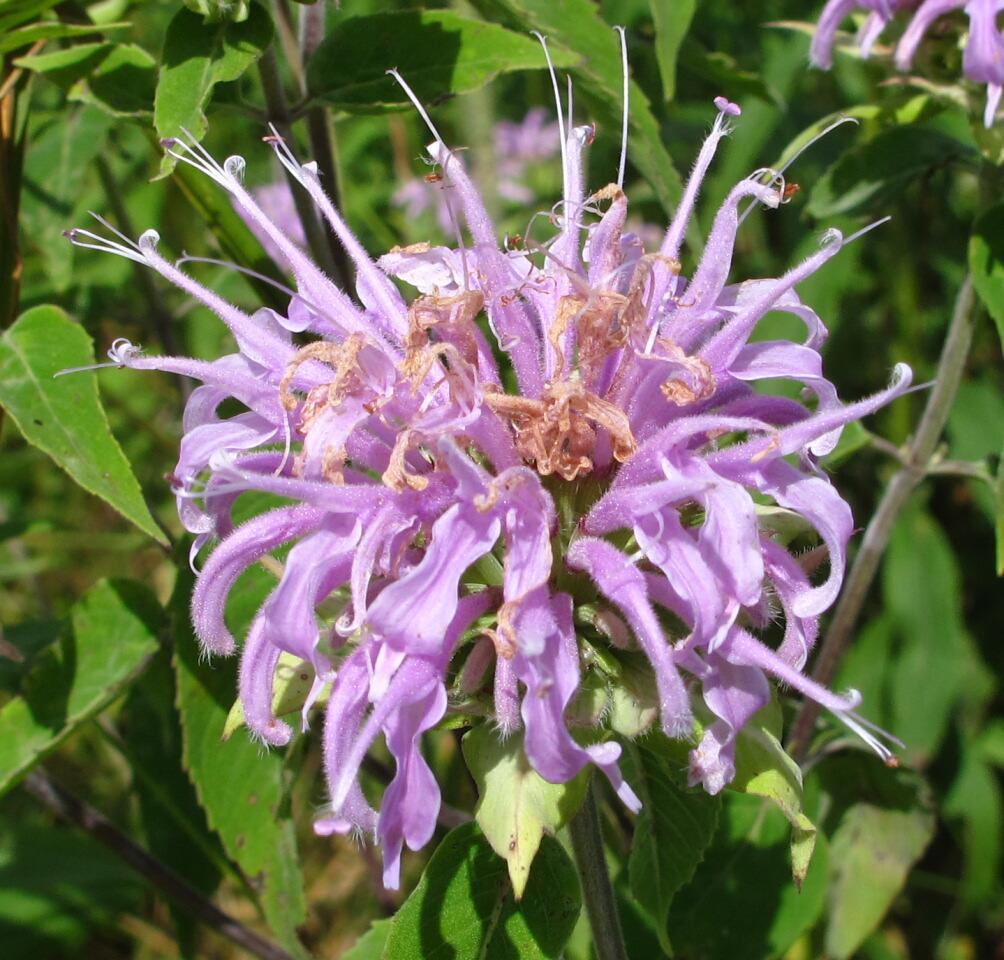 The Joyce Road Neighborhood: Wildflower - Wild Bergamot