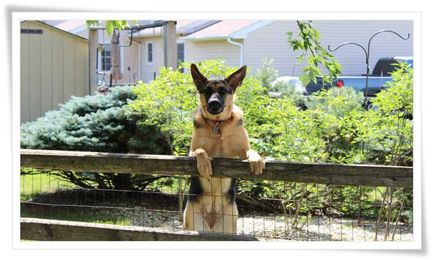 guard dog training near me