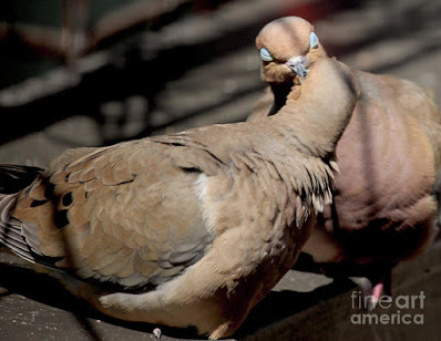 This is a screen shot of print which I'm selling on Fine Art America. It features two very amorous Mourning doves. Info is @ https://fineartamerica.com/featured/cooing-mourning-doves-1-patricia-youngquist.html?product=art-print