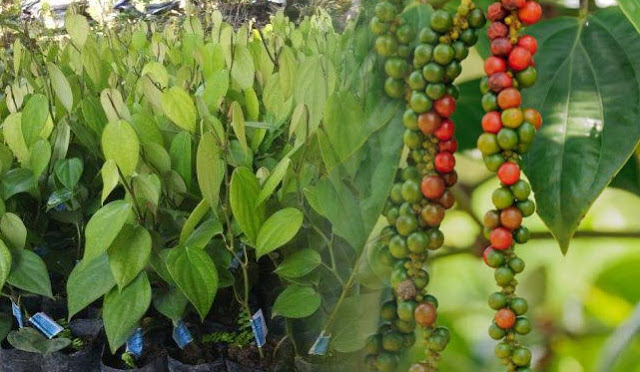 The parts of the pepper plant consist of roots, stems and branches of leaves and flowers and fruit. The root system of the pepper plant is a taproot, however taproot is rarely found in pepper because the pepper plant is cultivated by cuttings, so there are only lateral roots.  Pepper roots will form on the knuckles of the main stem and branches. Based on its function, pepper roots are divided into two, namely roots that grow from books in the soil which function as nutrient absorbers, and roots that grow from books on the ground which function as attachments to climbing poles.  The pepper plant has one main stem with two kinds of branches, namely orthotropic (vertical) and plagiotropic (horizontal) branches. Orthtropical branches grow and form the basic framework of a pepper tree, woody and segmented with an average length of 5-12 cm.