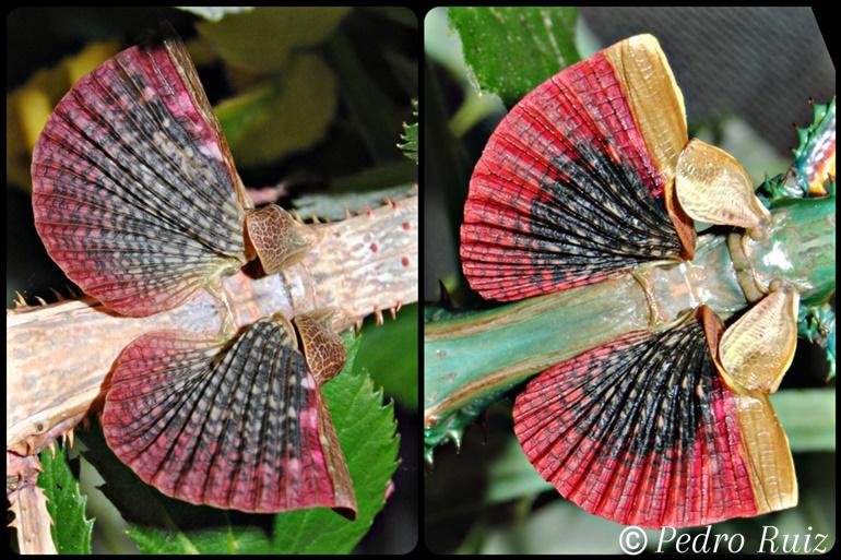 Detalle de las alas de una hembra y un macho de Achrioptera manga