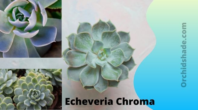 Echeveria Chroma care and grow up