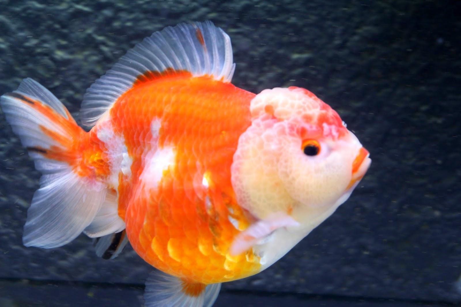 雙溪金魚錦鯉養殖場Shuangxi Goldfish & Koi farm:進出口蘭壽,蝶尾: 泰國獅頭1號/奶油玉兔