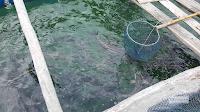 Bè nuôi Cá Bốp tại đảo Ba Hòn Đầm