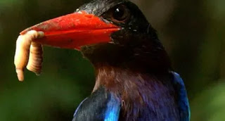 Hukum Memberi Makan Burung Dengan Jangkrik Hidup-Hidup