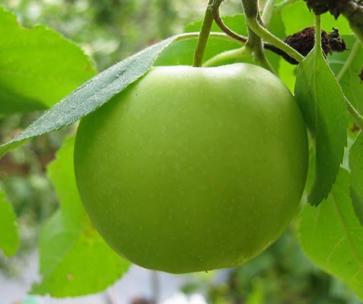 Hasil gambar untuk buah apel ijo