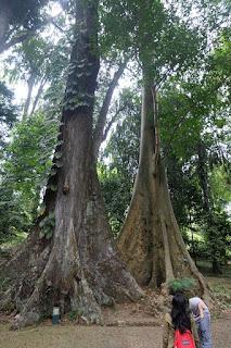 mitos pohon jodoh kebun raya bogor