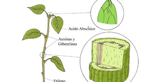 Ciencias divertidas con prof miguel bayona hormonas for Hormonas en las plantas