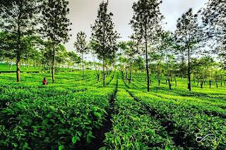 indahnya kebun teh wonosari