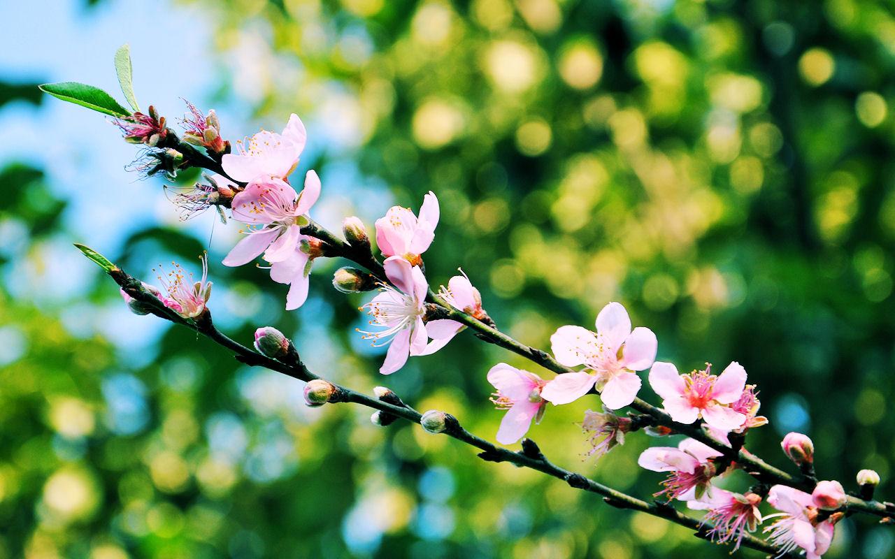 Flores De Durazno En El Campo Peach Blossoms In The Field