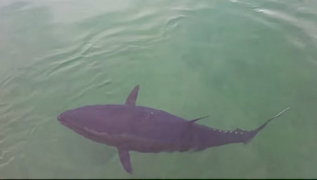Giant tuna swallows a young seagull then spit it out