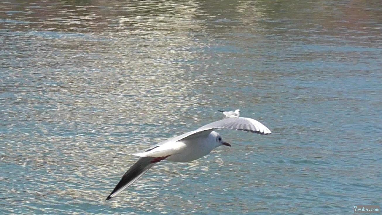 飛んでるユリカモメ
