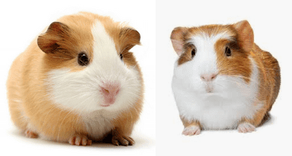 Guinea Pig Everything You Wanted to Know