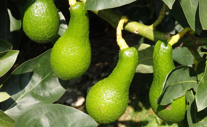 Un aguacate en el jard n cuidados y poda - Cuando se plantan los arboles frutales ...