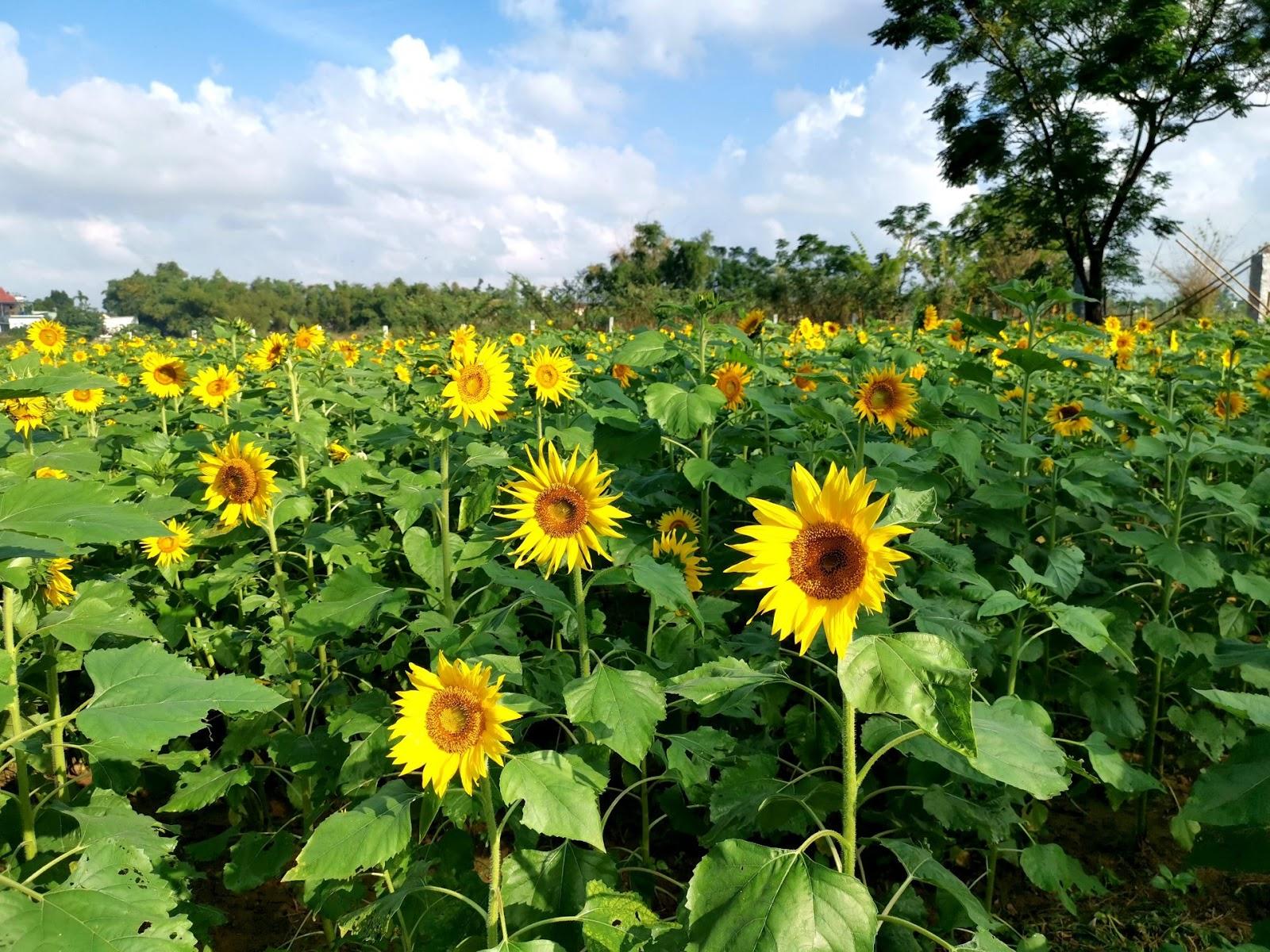 Địa chỉ vườn hoa hướng dương, hoa cánh bướm tại Quảng Nam, Đà Nẵng