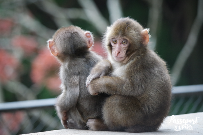 Deux jeunes singes, parc Takasakiyama, Oita
