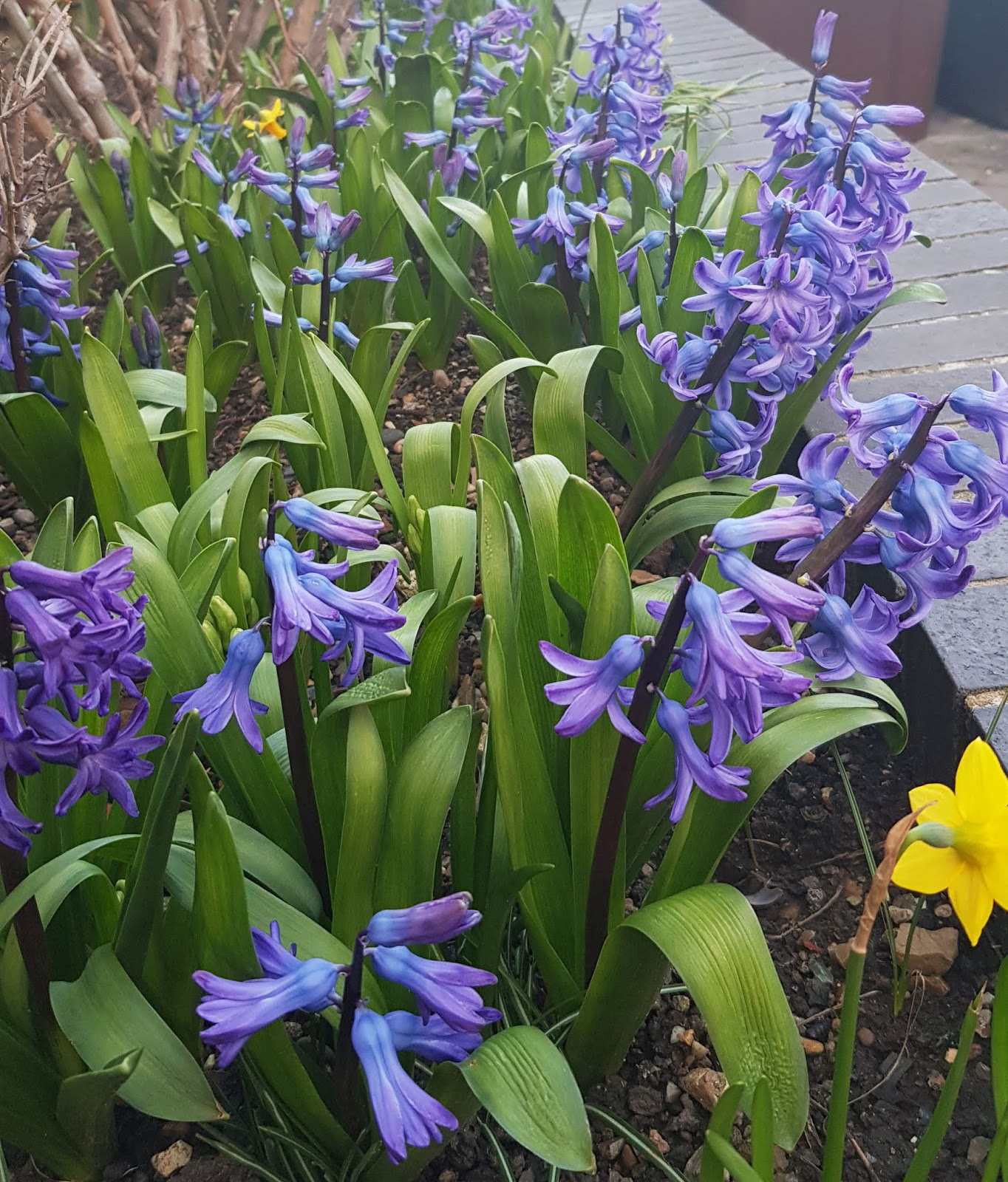 A profusion of blue hyacinths, long established, London February 2020