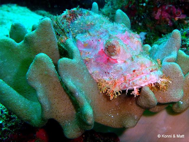 Scorpionfish, pulau weh, sabang, iboih beach, sumatra,