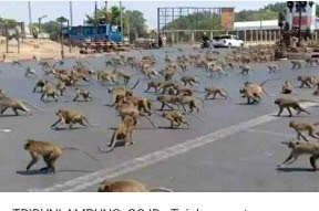Puluhan Monyet Berkelahi, 7 Orang Dilaporkan Tewas