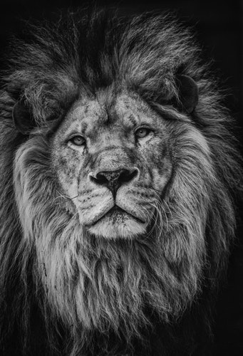Top 10 Lion Pictures For Whatsapp Dp Good Morning