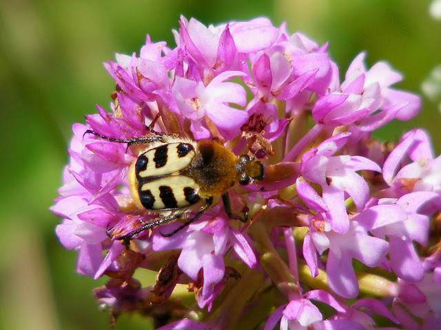 Eastern Bee Chafer Trichius gallicus on Pyramidal Orchid.  Indre et Loire, France. Photographed by Susan Walter. Tour the Loire Valley with a classic car and a private guide.
