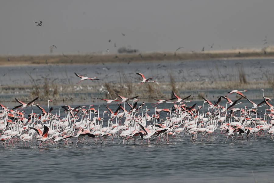 Breeding Greater Flamingo
