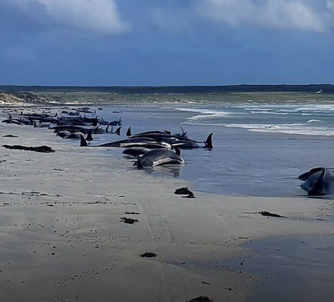 New Zealand mass stranding leaves more than 100 whales dead