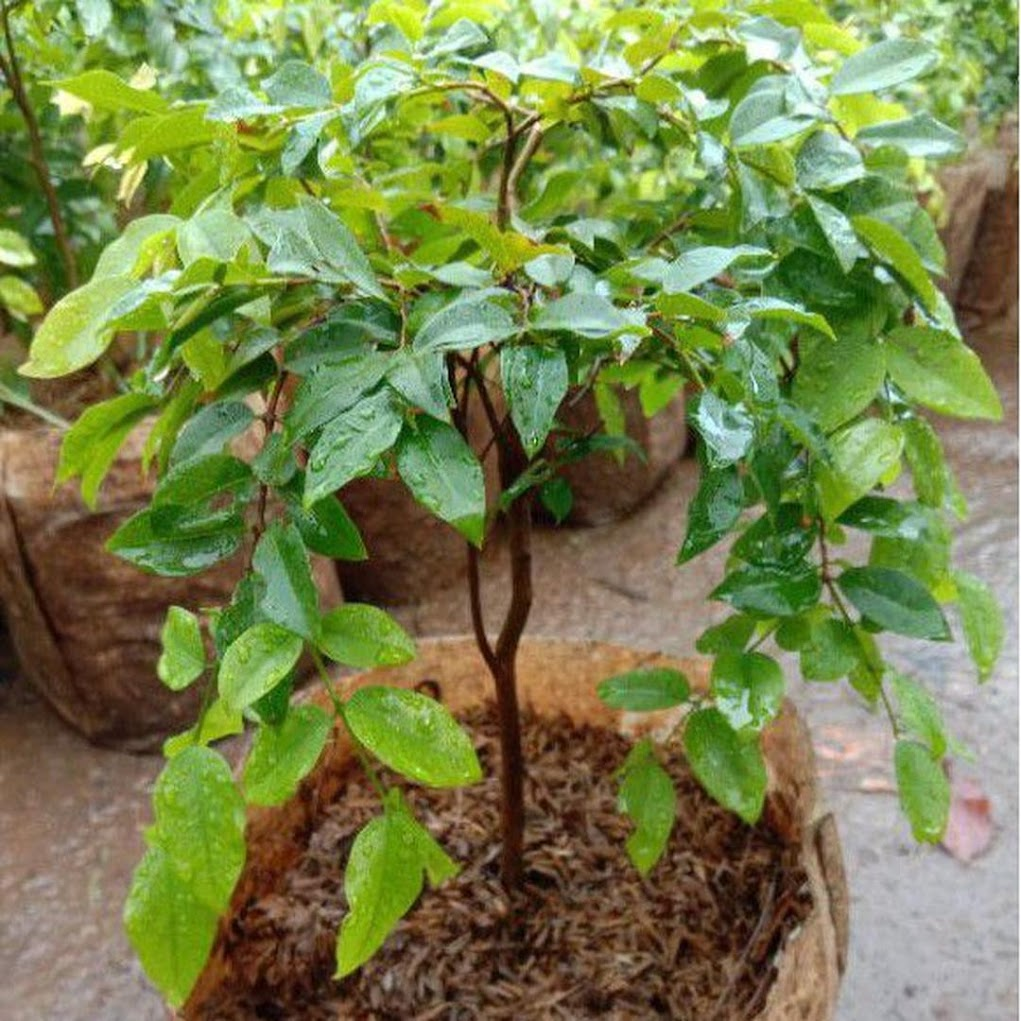Anggur Brazil Sabara Anggur Pohon Jaboticaba Samarinda