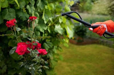 Penyiraman Mawar