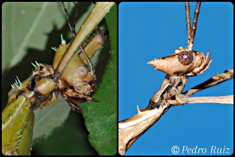 Detalle de la cabeza de una hembra y un macho de Extatosoma tiaratum