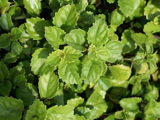Lierre suédois - Plectranthus verticillatus - Plectranthus australis