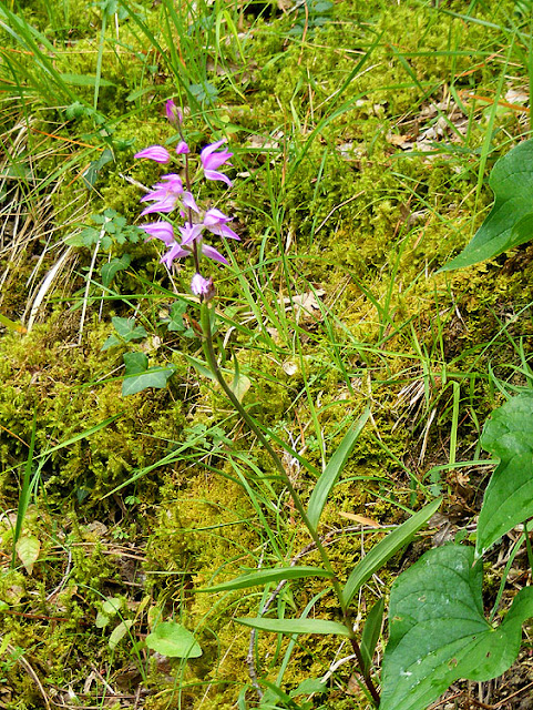 Red Helleborine Cephalanthera rubra.  Indre et Loire, France. Photographed by Susan Walter. Tour the Loire Valley with a classic car and a private guide.