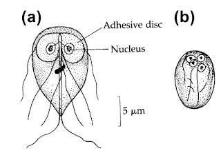 Giardia lamblia, Morfologi, Siklus Hidup, Epidemiologi, Gejala, Diagnosis dan Pengobatan Giardiasis