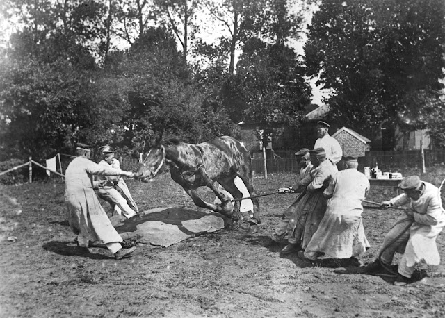 Original caption: War horse being well cared for in the big conflict. The average life of a horse in the war zone is six weeks. Scene in a German veterinary hospital in the field. A horse, being wounded by shrapnel, is being made ready for an operation.