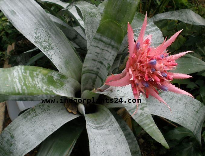Aechmea FASCIATA plant image